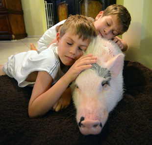 Ethan Halpern, 9, and his brother, Alexander, 10, right, snuggle with their pet miniature pot bellied pig, Wilbur, in their Lake Worth, Fla., home. (Mark Randall/Sun Sentinel/MCT)